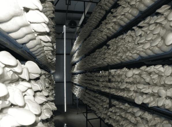Як виростити гриби в домашніх умовах